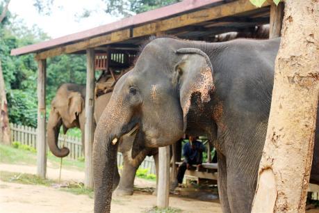 el sofa amarillo montar en elefante en laos (1)